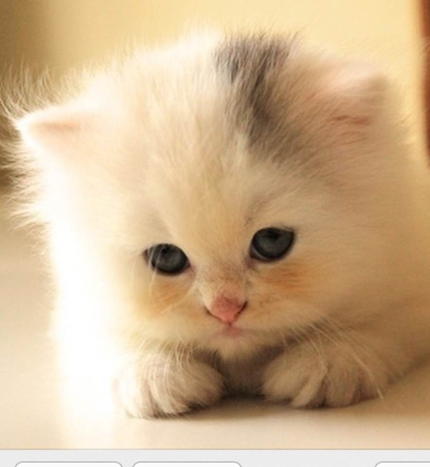 One of the cutest Kitten ever ♥ Adorable pets ♥ Pinterest