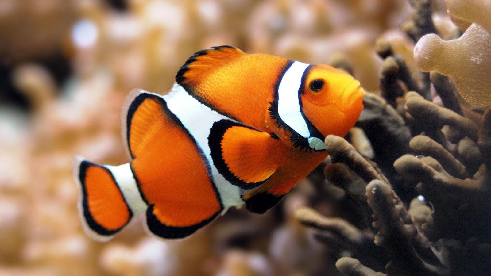 wallpaper clarkii clownfish - photo #14