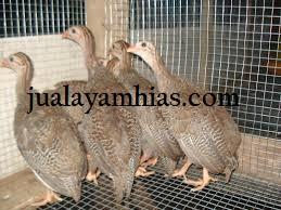 Ayam Mutiara Usia 2 Bulan