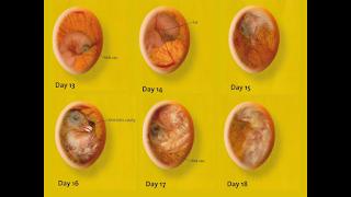 embrio ayam usia 13-18 hari dalam mesin tetas