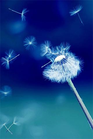 Hình nền hoa bồ công anh cho iPhone lung linh trong gió