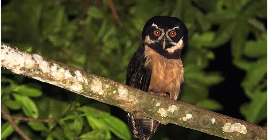 Christian Artuso: Birds, Wildlife: Owls, potoos and ... - photo#18
