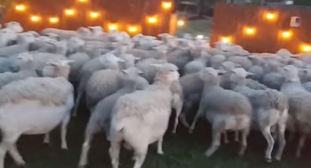 Menang Banyak, Karena Lupa Tutup Gerbang, Rumah Pria Ini Dimasuki 200 Ekor Domba Nyasar.