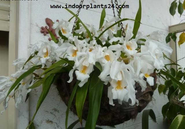 COELOGYNE CRISTATA indoor plant