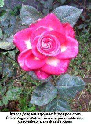 Foto de una Rosa hermosa. Foto de rosa de Jesus Gómez