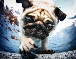 Pug diving