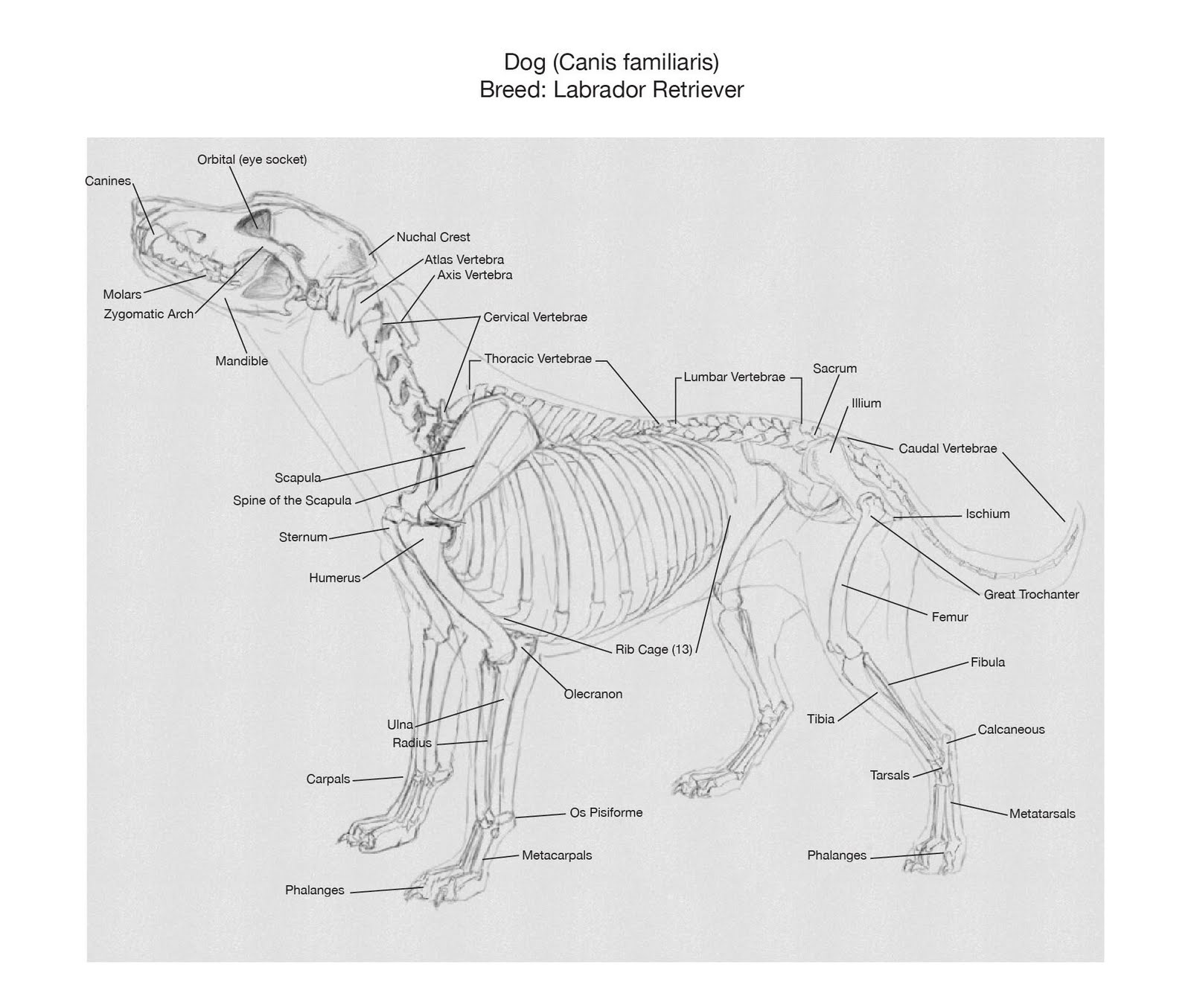 JKT ART: Introduction To Animal Drawing And Anatomy