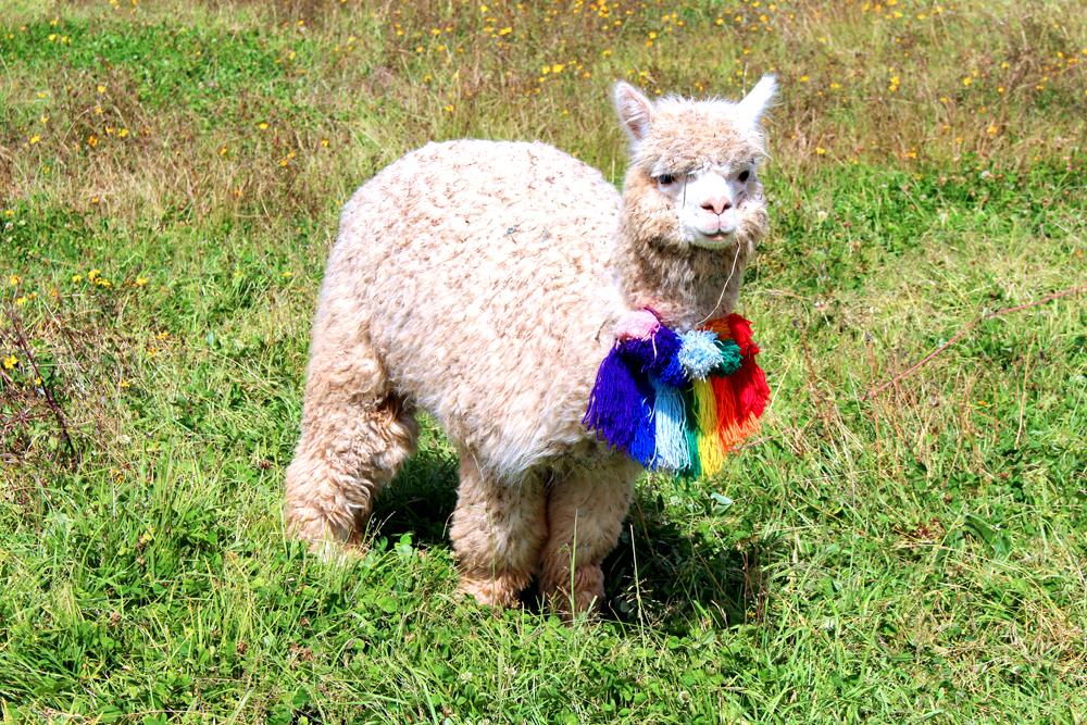 Baby llama in Cusco, Peru - lifestyle & travel blog