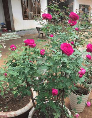 Hoa hồng 16