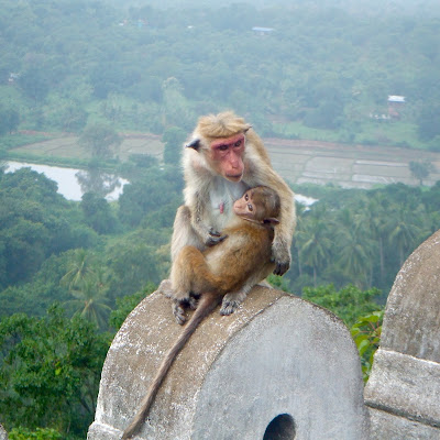 Monkeys at the Dambulla caves in Sri Lanka