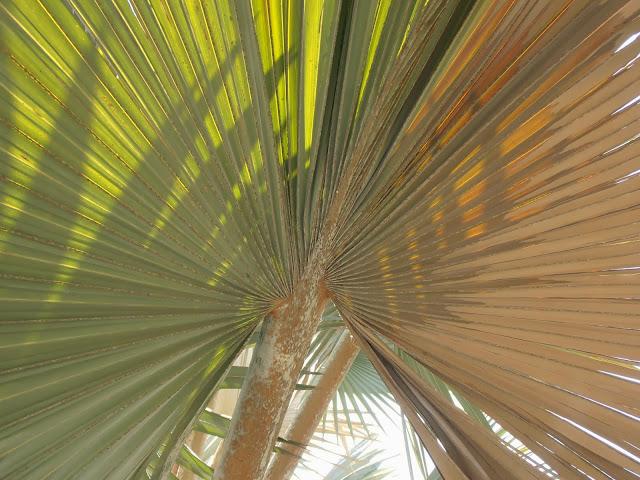 Hoja de PALMERA DE BISMARCK: Bismarckia nobilis