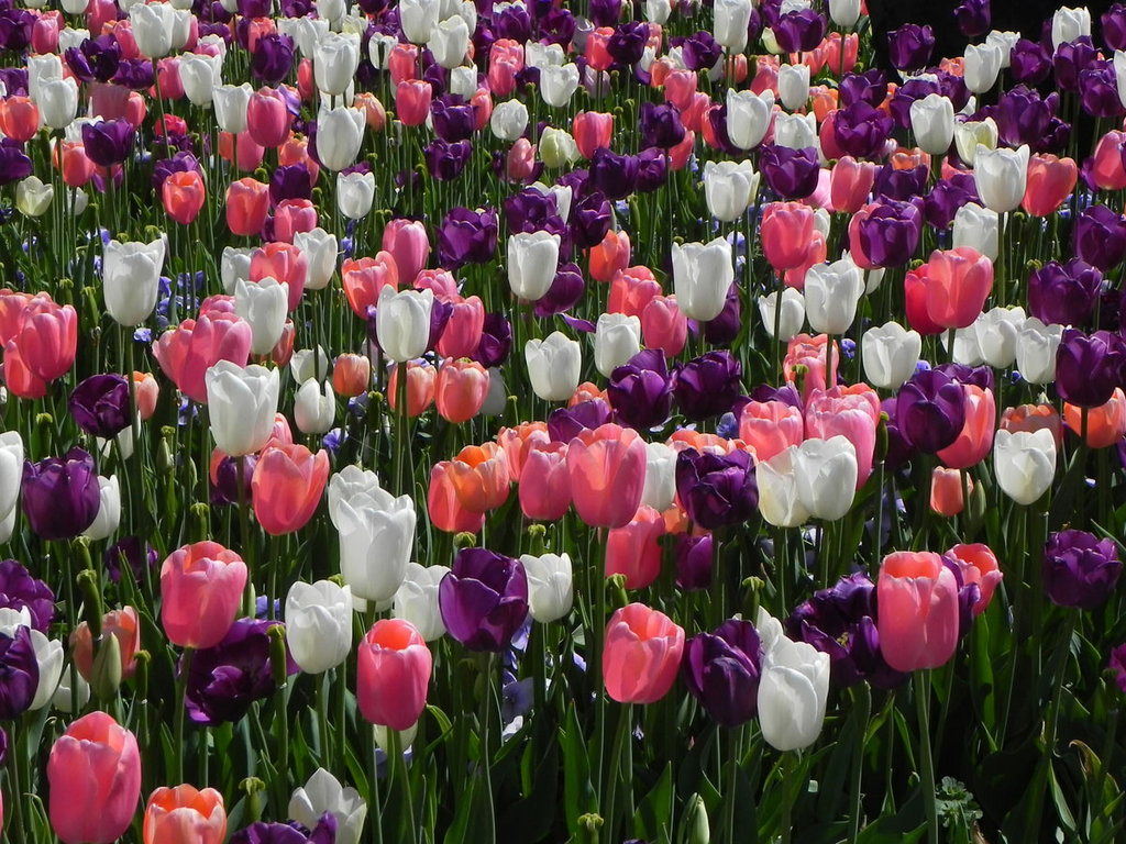The gallery for --> Purple And White Tulips Wallpaper