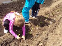 trasplante tomayes en huerto escolar