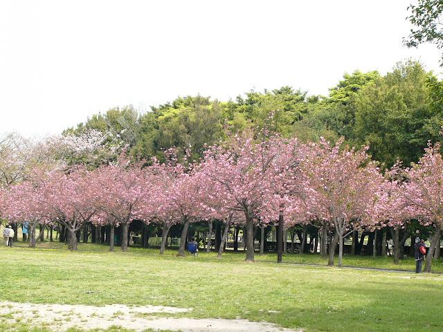 foto bunga sakura kebun raya cibodas]