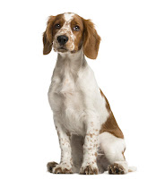 Everything about your Welsh Springer Spaniel