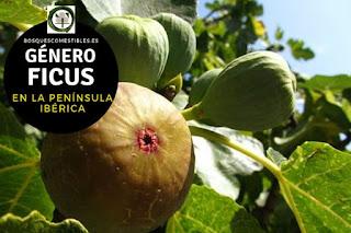 El género Ficus son arboles o arbustos caducifolios que pueden superar los 8 m. de altura
