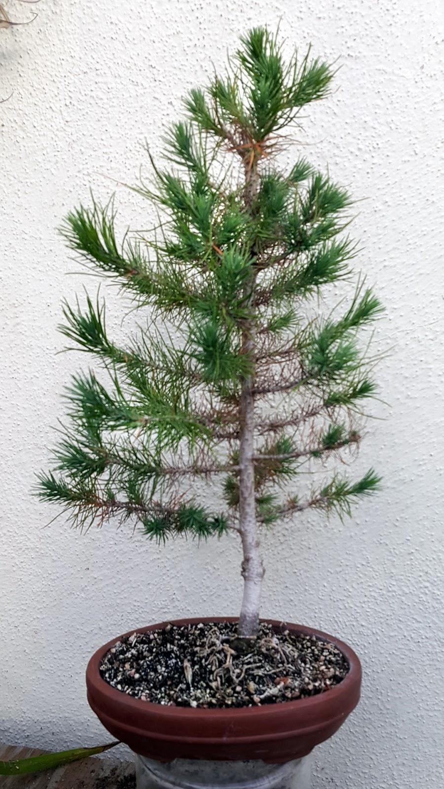Bonsai Misadventures Afghan Pine A Desert Star