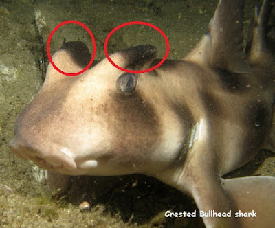 gambar hiu jambul kepala banteng