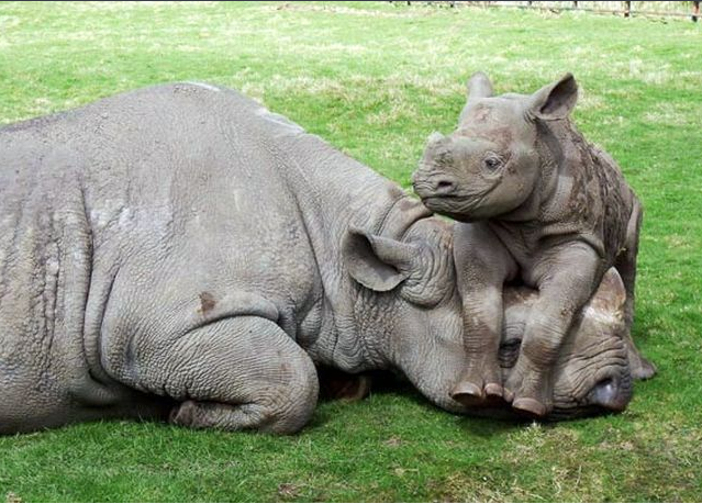 A baby rhino playing with it's mother.