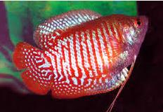 Ikan Hias  Lace Gourami Aqurium