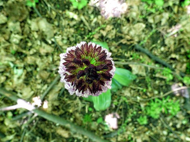 Flori salbatice - Orhidee Salbatica - Orchis Purpurea - Gemanarita - padure Muntii Macinului, Dobrogea, Romania