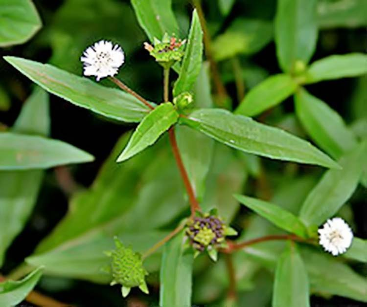 Manfaat Tumbuhan Urang Aring Untuk Obat Alami