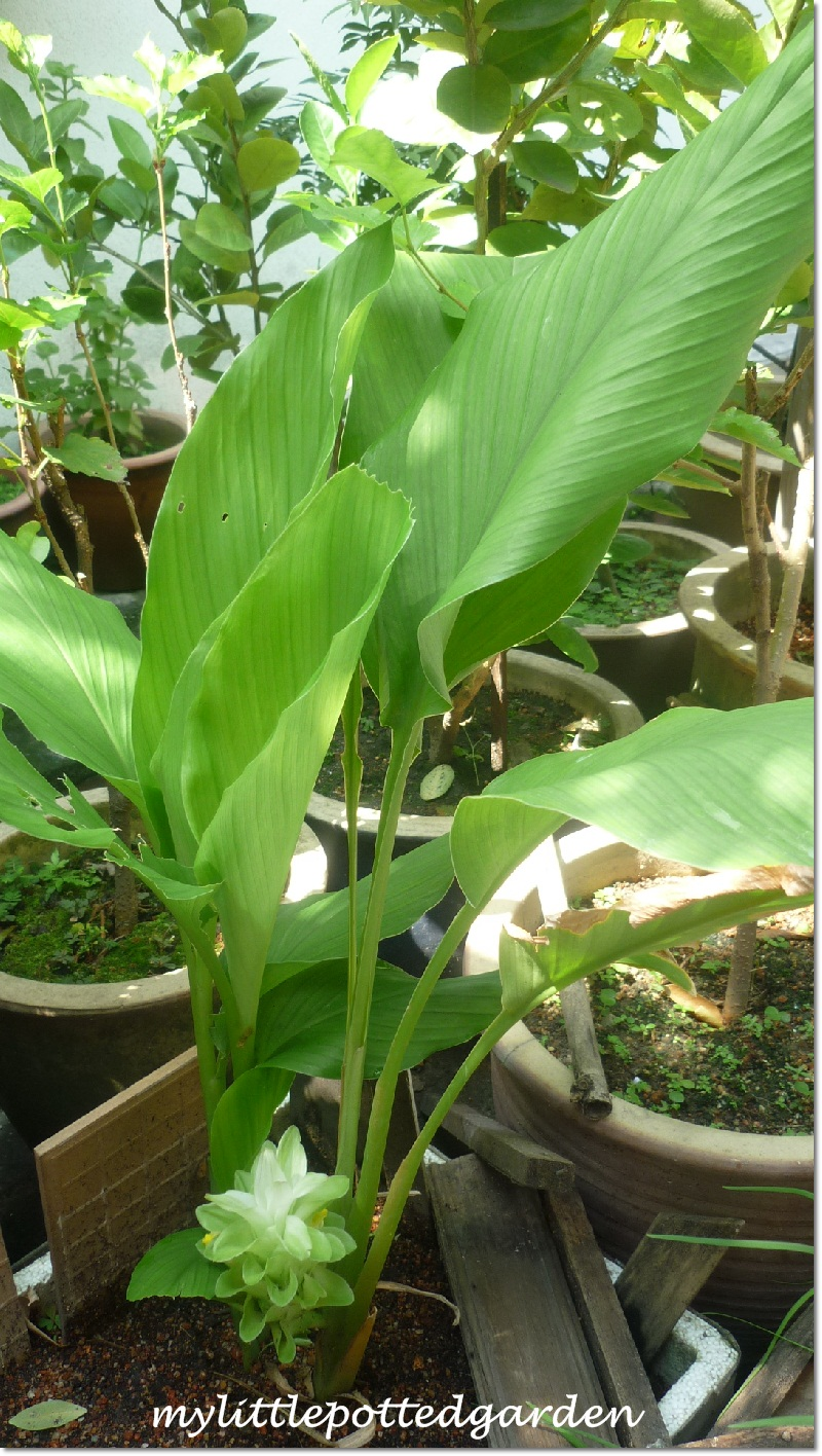 My Little Potted Garden: Beautiful Flower of The Turmeric ... |Turmeric Plant Root