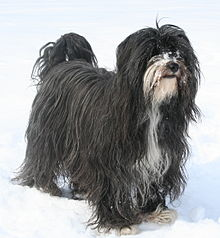 Black Tibetan Terrier Dog