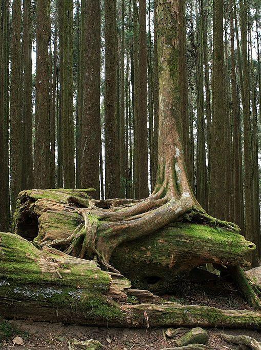 Beautiful roots over fallen tree