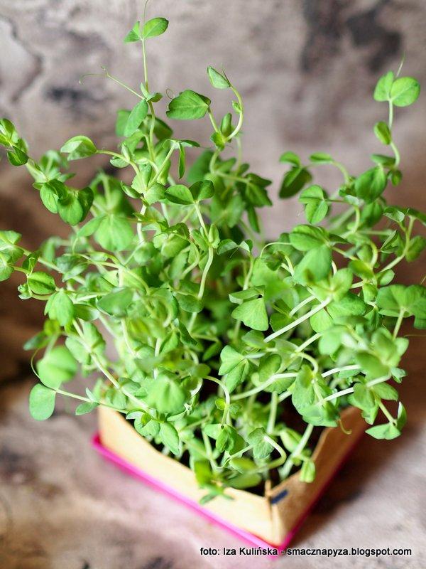 Jak wyhodować mikrowarzywa w domu. Zielony ogródek na parapecie.