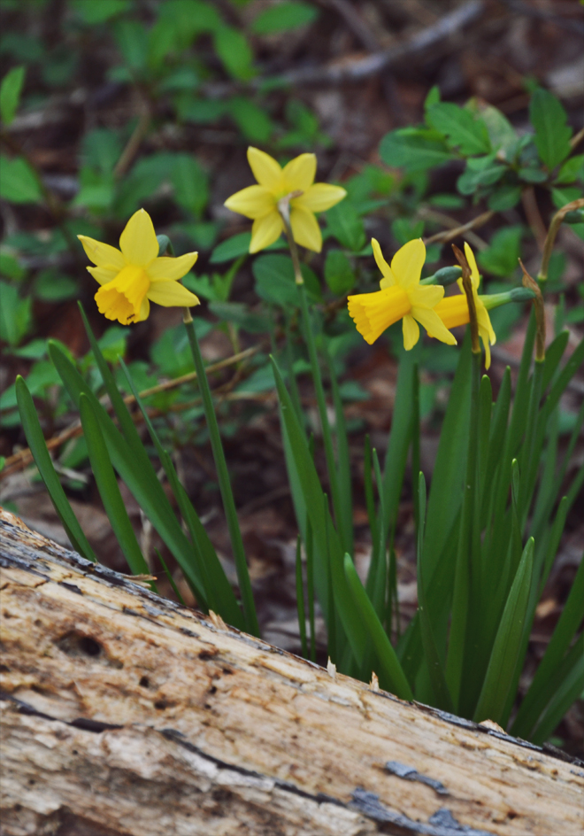 The Flying Clubhouse: Signs of Spring - Jonquils