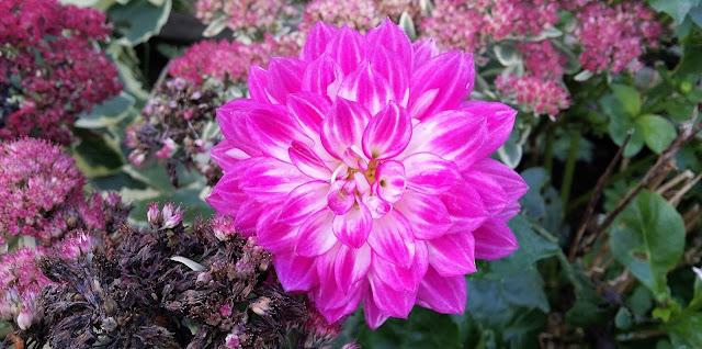 kukkapenkki, violetti kukka