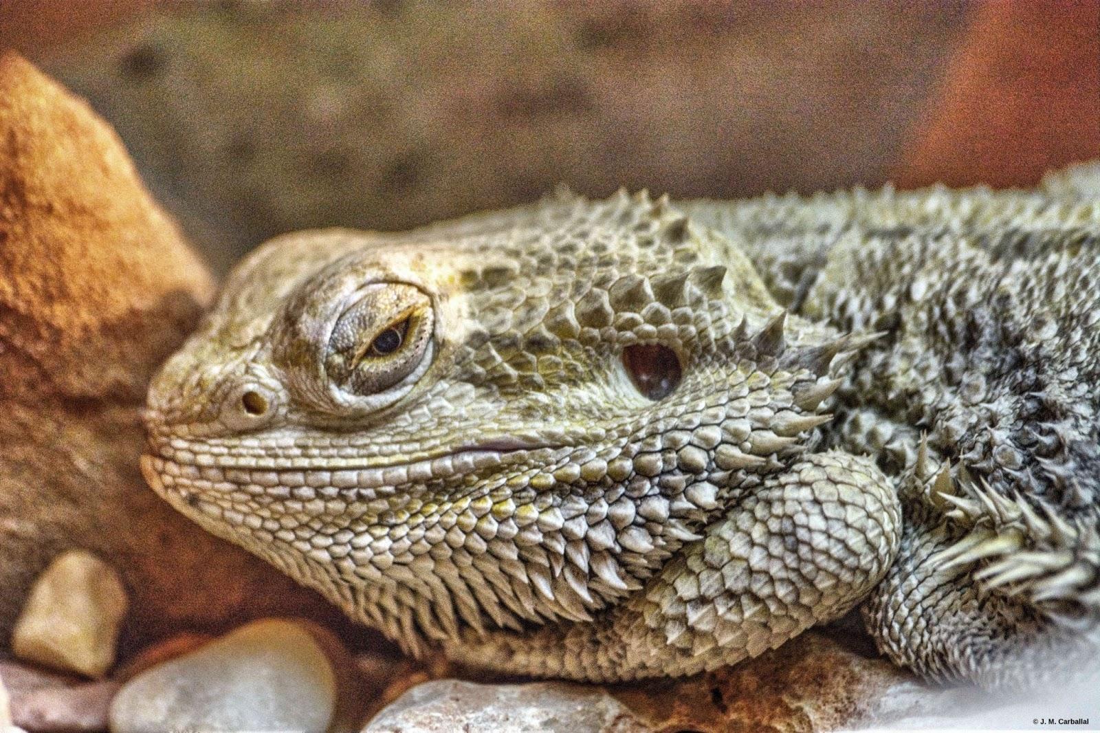 El Blog de Isa y Juan: Pogona vitticeps, el lagarto barbudo