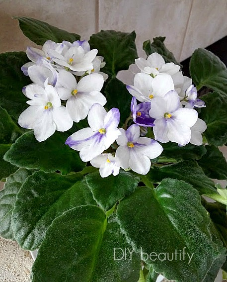 how to grow healthy African Violet plants that bloom ~ DIY beautify