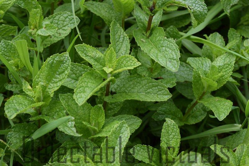 home garden mint