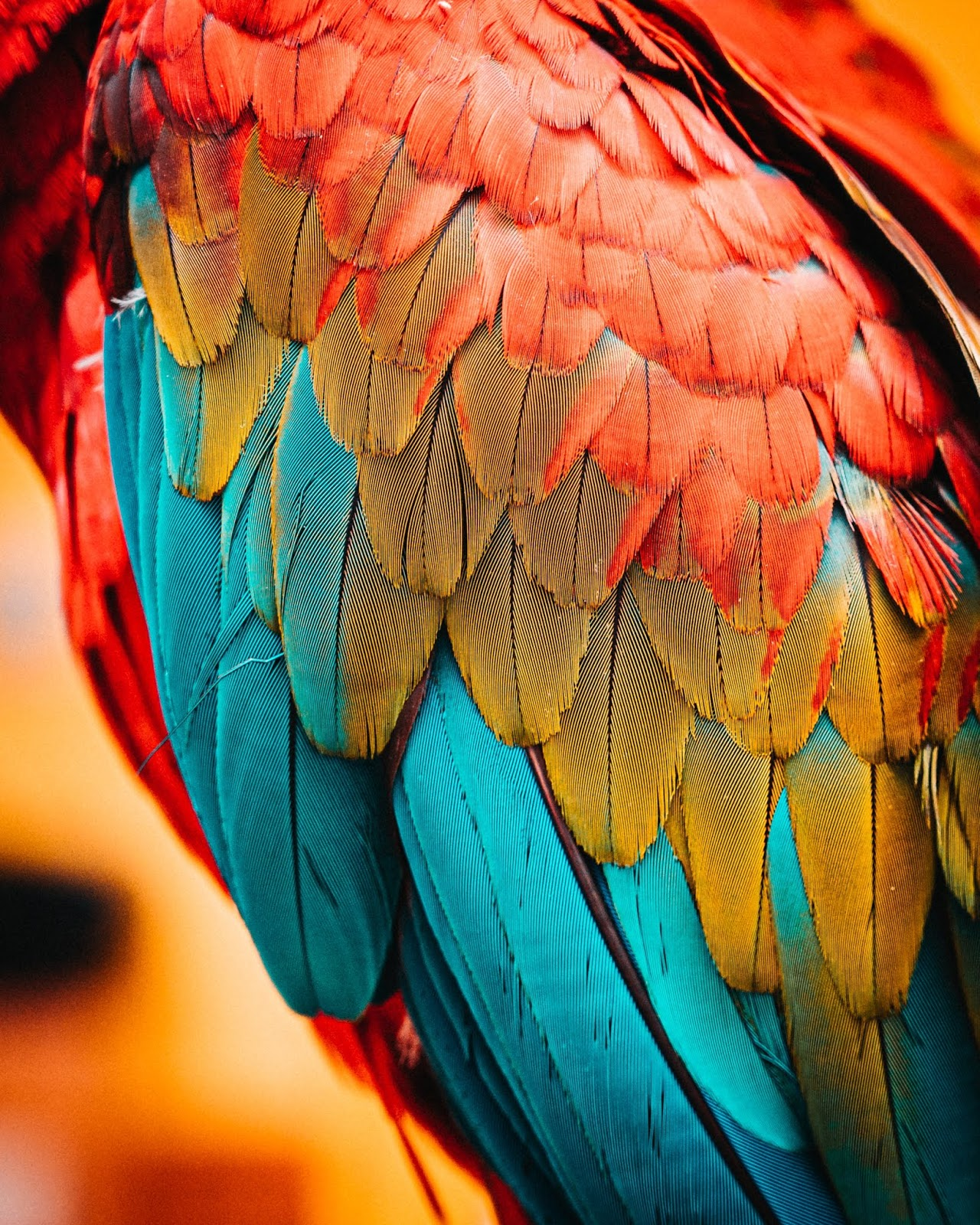 macaw feathers ultra hd picture to use as background wallpaper for phone