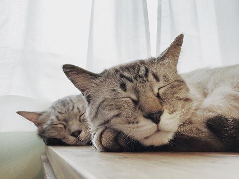 そっくりな寝顔のシャムトラ猫とサバトラ猫