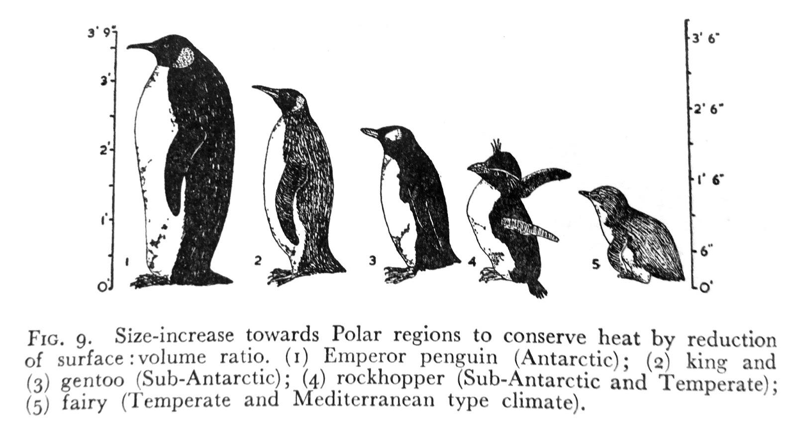 sconzani: 'Dedicated Naturalist': Shackleton's Penguin