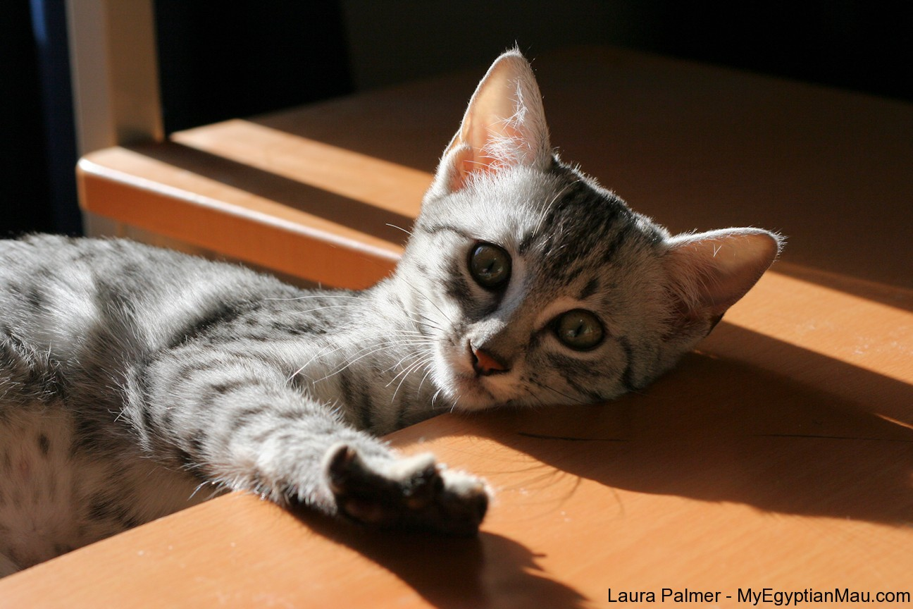 Egyptian Mau - Pets Cute and Docile