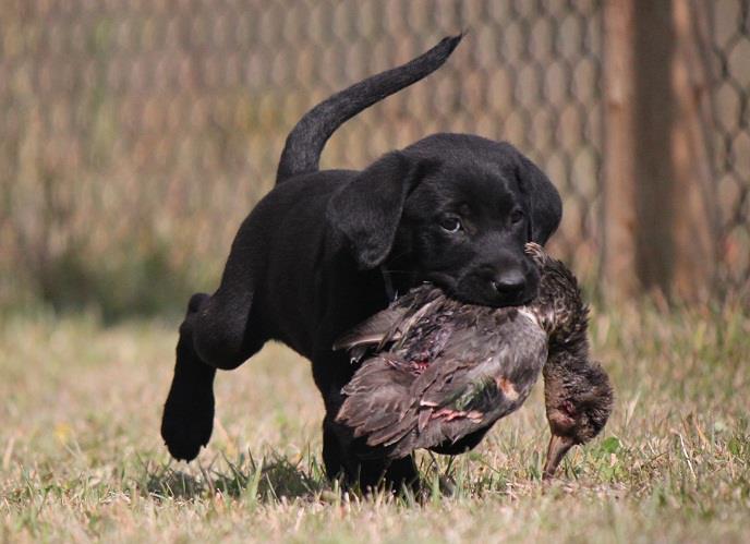 Jack Russell Terrier Cute Puppies Wallpaper Cute Puppy Dogs Black Labrador Retriever Puppies