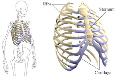 nama -nama tulang di dada dan rusuk manusia