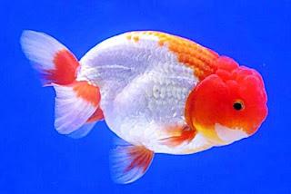 Gambar Ikan Mas Koki Ranchu