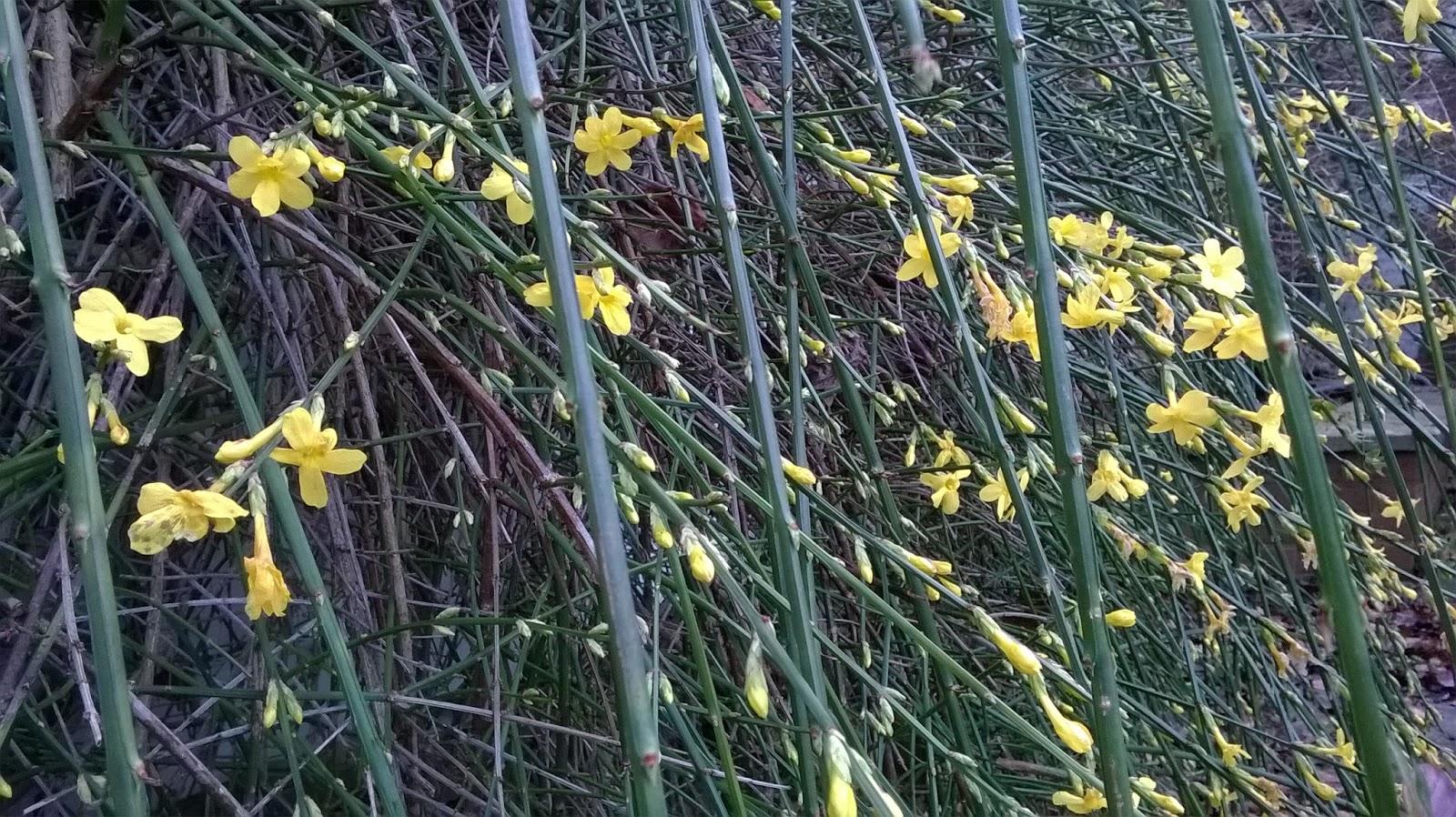 Life between the flowers jasminum nudiflorum winter jasmine yellow picture of yellow flowers in winter jasmine climber life between the flowers izmirmasajfo Image collections