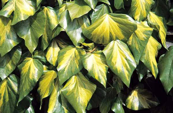 Canary Island Ivy leaves