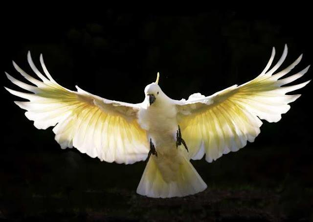 Beautiful Cockatoo Facts & Info 9