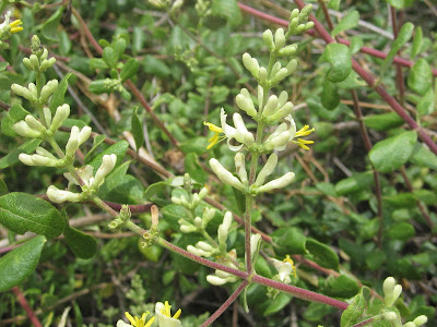 Southern honeysuckle