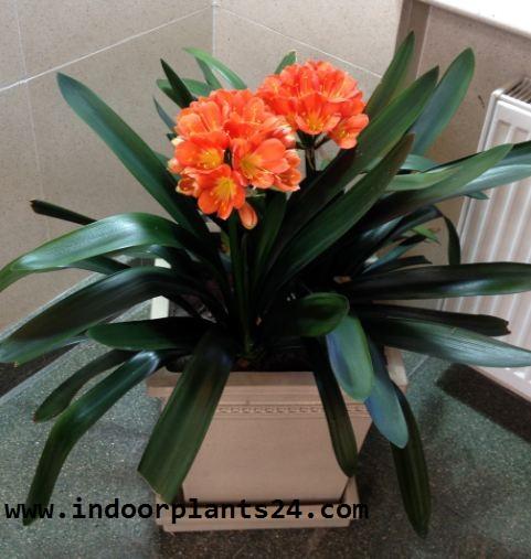 Clivm Miniata Amaryllidaceae indoor Plant