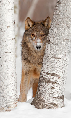 A captive gray wolf in snow, looking through two silver birches at the camera