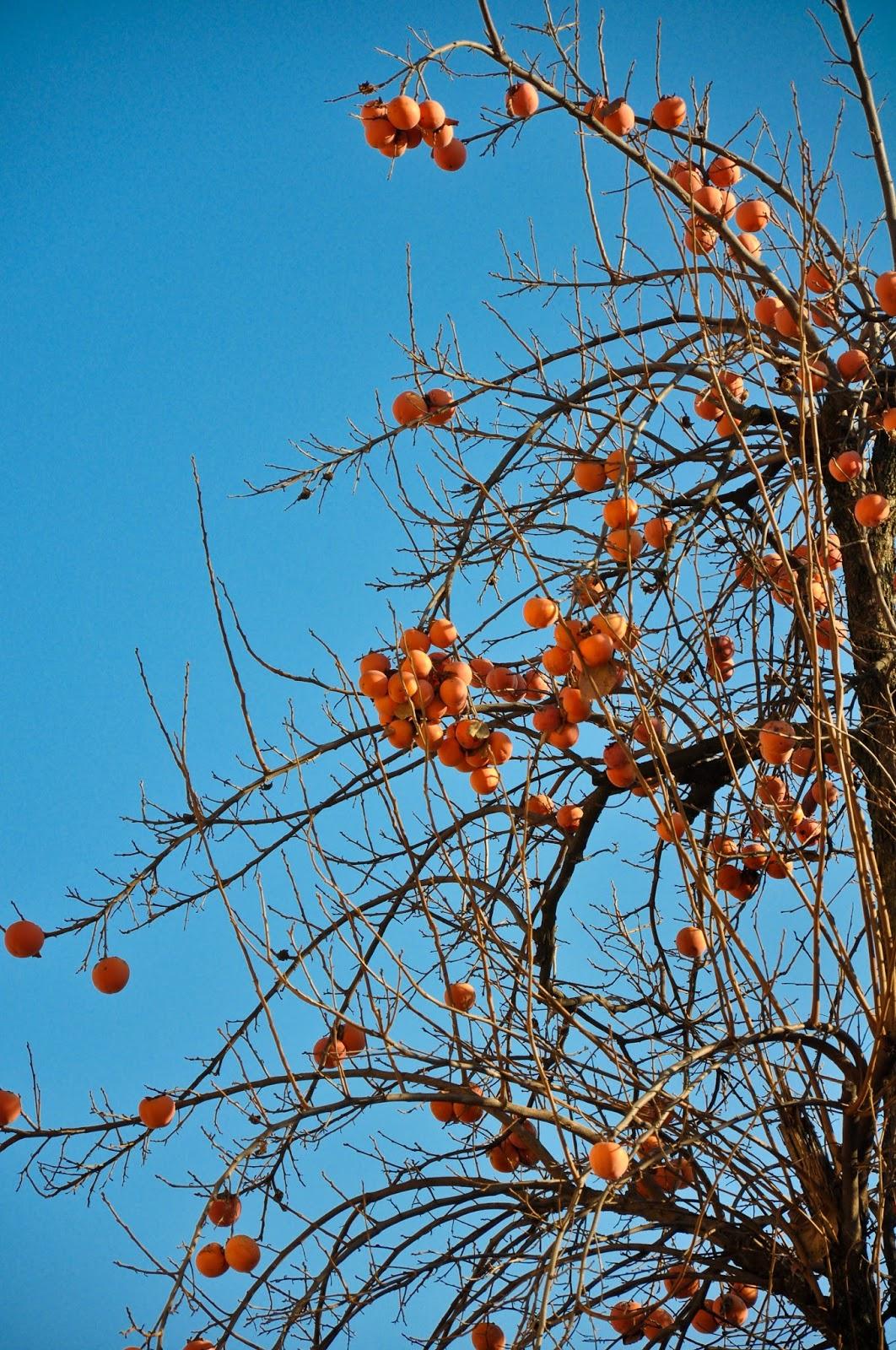 Persimmon tree, Vicenza, Italy