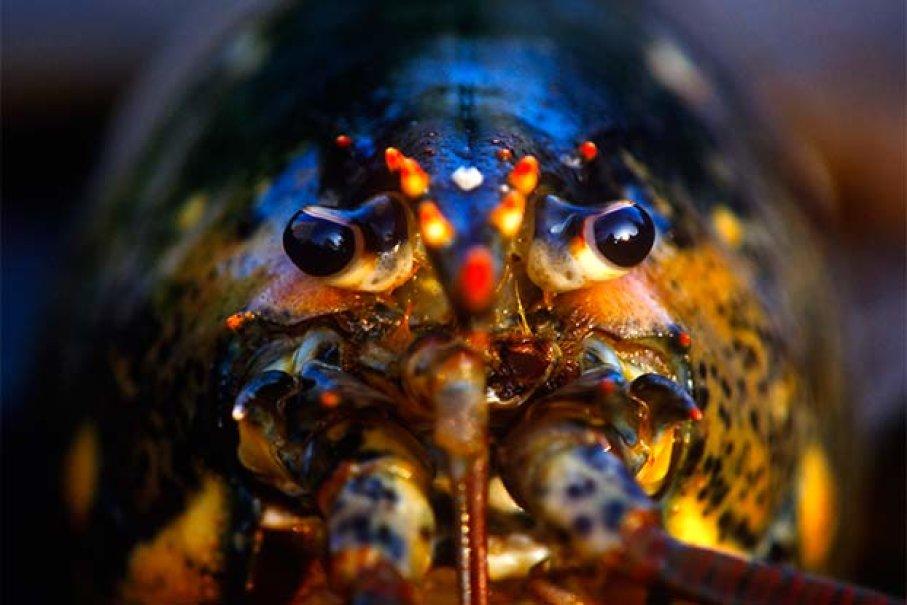 Lobster Mengeluarkan Kotoran Lewat Wajah Mereka